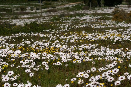 Daisies at Oliphantskop